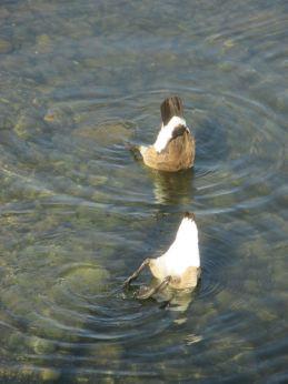 Canada Geese, upside down, feeding, bobbing, morning, Fair Oaks Bridge, American River, water, swimming, diving