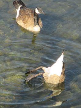 paddling, upside down, American River, Fair Oaks Bridge, water, morning