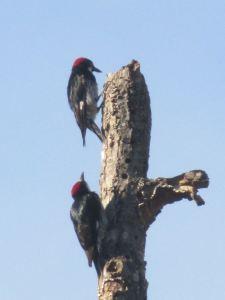 woodpecker,American river,