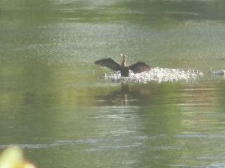 Cormorant, American River, Fair Oaks Bridge, monring, wings