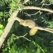 squirrel, American River, American River Parkway, trees, Fair Oaks Bridge, mornings