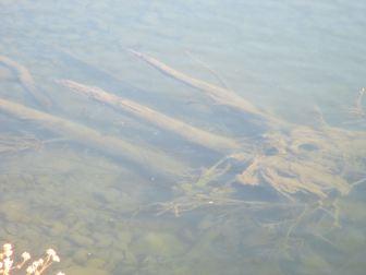 underwater tree, American River, debris