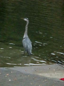 Great Blue Heron. Faor Oaks Bridge, morning