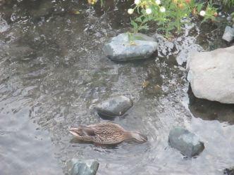 Fair Oaks, Fair oaks Bridge, American River, ducks, wonder, joy, morning