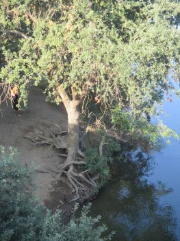 American River, trees, erosion, ducks, morning, Fair Oaks Bridge