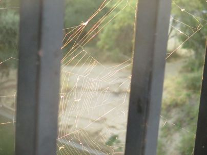 spider web, morning, Fair Oaks Bridge, Great Blue Heron