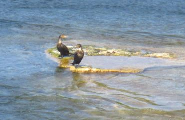 mallard speak, American River, Fair Oaks Bridge, morning, salmon, Cormorant