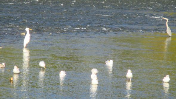 American River, Fair Oaks, feast, morning, Great Blue Heron, Egret, seagulls, salmon