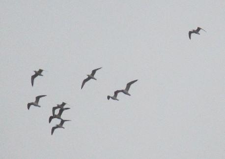 seagulls, flight, mornings, rain, Fair Oaks Bridge, American River, salmon