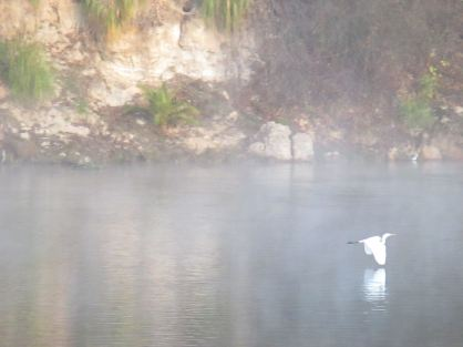Egret, mornings, Fair Oaks Bridge, Fair Oaks Bluffs, American River, wildlife, ducks, seagulls. fog, mystery, fairies