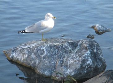 seagull, salmon, morning, Fair Oaks Bridge, wildlife calls, Fair Oaks Bluffs, Fair Oaks Village, wildlife, writing,