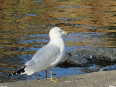 seagull, seagull calls, morning, Fair Oaks Bridge, American River, water, feeding