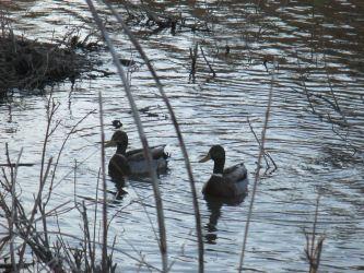 symphony, ducks, Canada Geese, mornings, Fair Oaks Bridge, Fair Oaks, American River