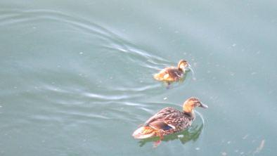 first ducklings, American River, fair Oaks Bridge, mornings, water, wildlife