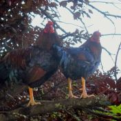 chickens, Fair Oaks parks, Fair Oaks Village,