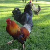 chicken, Fair Oaks Village, Fair Oaks parks, mornings, streets, Fair Oaks Bridge, write,