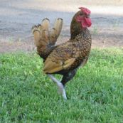 chicken, Fair Oaks Village, Fair Oaks parks, streets,