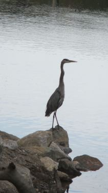 Great Blue Heron, active, wildlife, mornings, Fair Oaks, Fair Oaks Bridge, nature, wildlife, American River, American River Parkway, outdoors