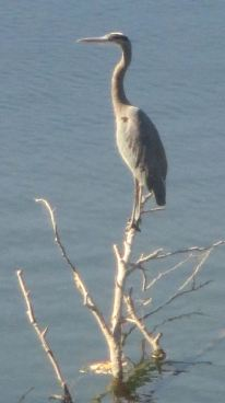 peaceful, Great Blue Heron, American River, mornings, Fair Oaks Bridge, beauty, wildlife