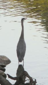 Great Blue Heron, American River, water, mornings, Fair Oaks Bridge, boat luanch ramp, study