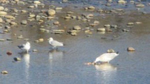 seagull, salmon, American River