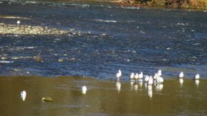 seagulls, group, salmon, American River,