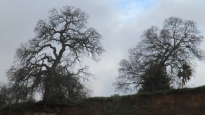 Fair Oaks Bluff, Fair Oaks Bridge, American River, oak trees, flood, habitat