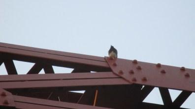 Fair Oaks Bridge, American River, mornings, nature, birds, observation, writing, outdoors