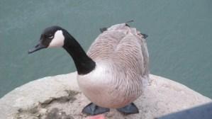 Canada Goose, pier, Fair Oaks bridge, American River, water, mornings, wildlife, nature, outdoor, writing,