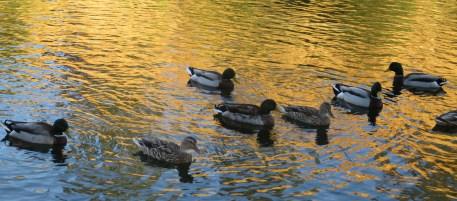 mornings, American River, wildlife, waterfowl, ducks, observation, quiet, peaceful, swim, riverbank, Fair Oaks Bridge
