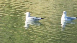 seagulls, swim, boat launch ramp, American River, Fair Oaks Bridge, mornings, stories, breakfast