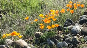 poppies, golden, light, beauty, nature, mornings, flowers, spring, American River