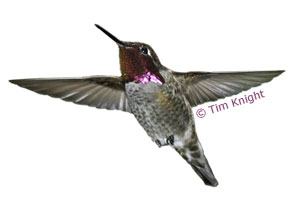 hummingbird diagram of color 1984 toyota pickup wiring diagrams anna s facts naturemapping photo by tim knight