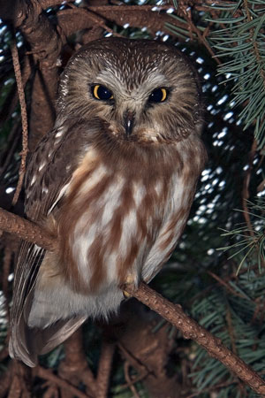 Northern Sawwhet Owl Facts  NatureMapping