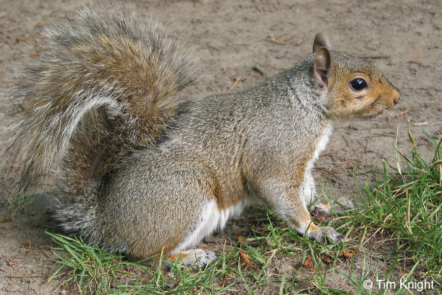 eastern gray squirrel facts