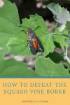 How to Defeat the Squash Vine Borer