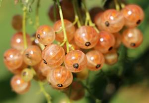 How to Plant and Care for Currants