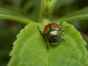 Natural Ways to Get Rid of Japanese Beetles in the Garden