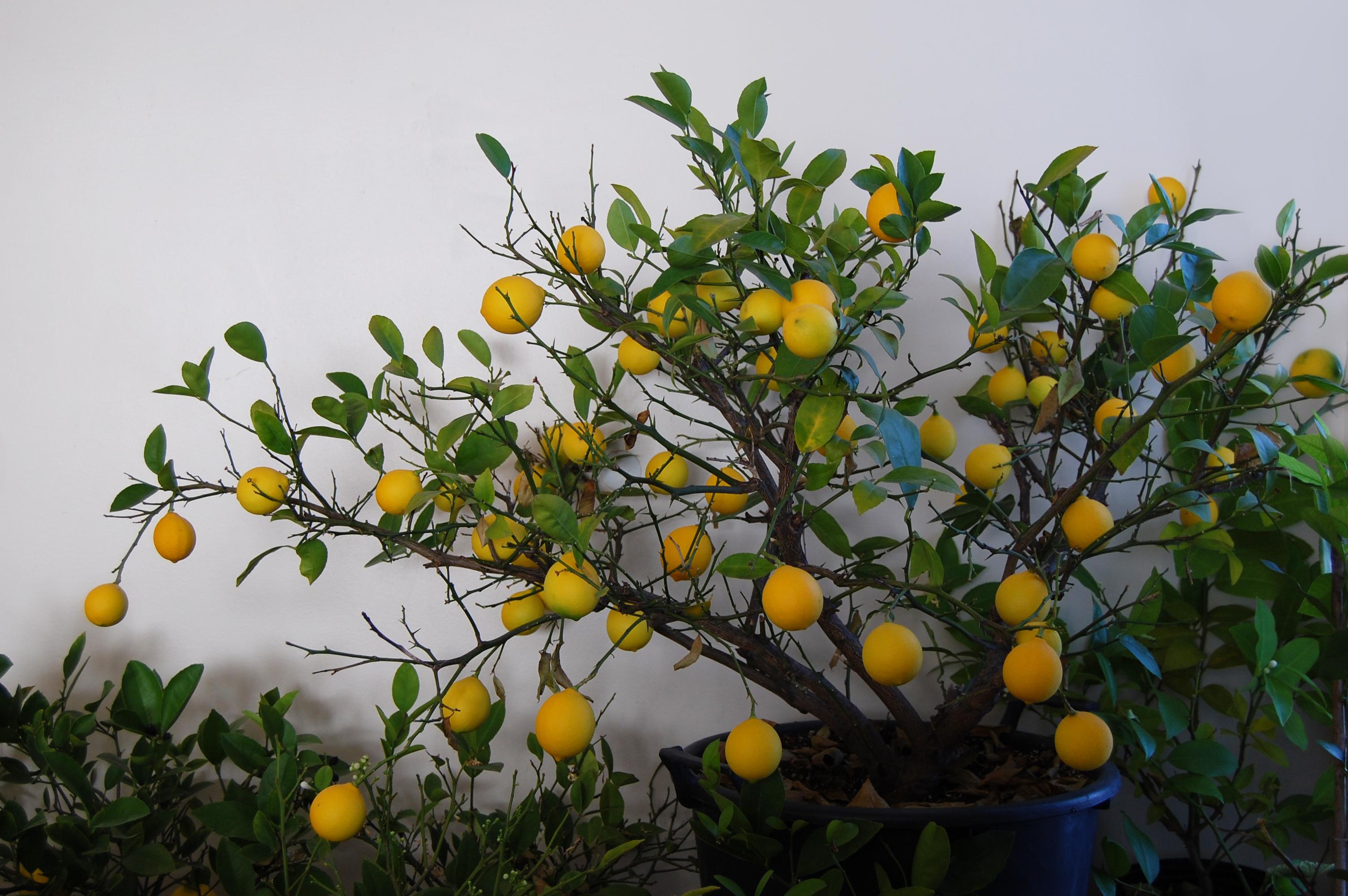 Meyer Lemon Tree in a pot