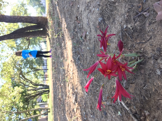 The Oxblood Lily - Argentine Native gone Texan, standing alone in the dirt.