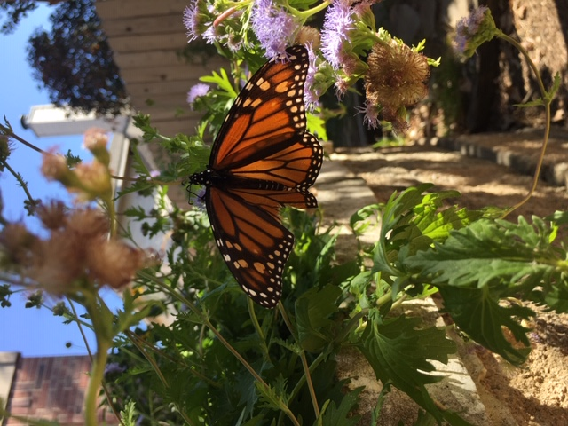 Monarch sipping nectar from fall mist flower blooms.