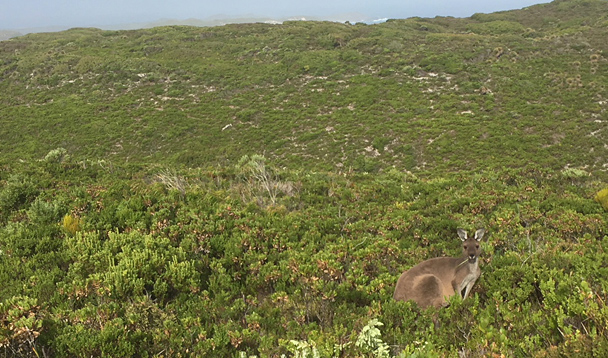 Kangaroo at Conspicuous Cliff