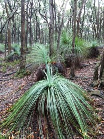 Grass Trees are a wonderful feature of this park