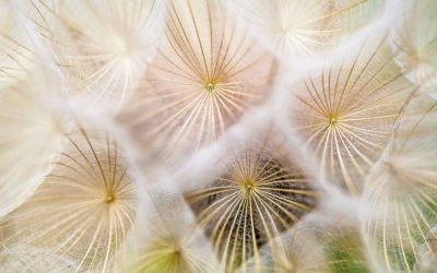 dandelion-up-close-unsplash