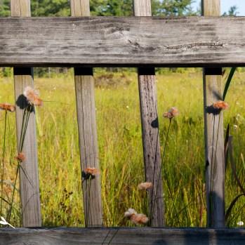 Tawny Cottongrass, Saul Lake Bog, by Thomas Hegewald