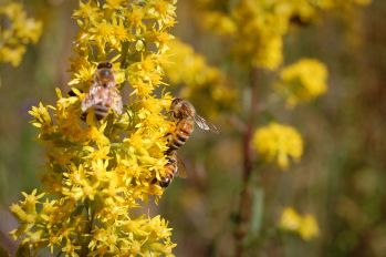 Showy goldenrod and bees