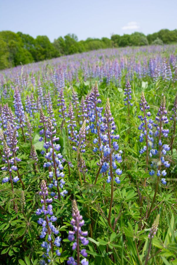 Lupine in bloom at Saul Lake Bog Nature Preserve.