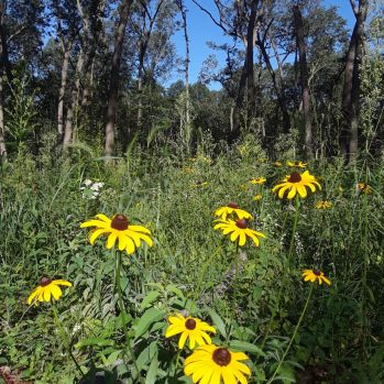 Black-eyed Susans fill in the open space at Wege Foundation Natural Area.