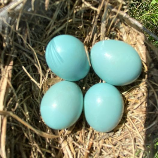 A clutch of bluebird eggs. Image: Peggy Falk