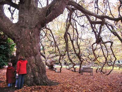 Emmanuel plane tree